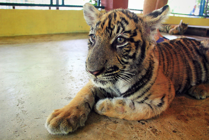 chiang_mai_tiger_kingdom17