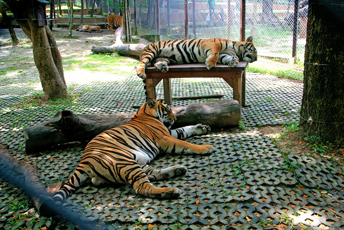 chiang_mai_tiger_kingdom18
