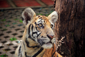 chiang_mai_tiger_kingdom20