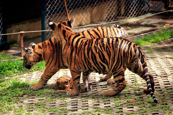 chiang_mai_tiger_kingdom25