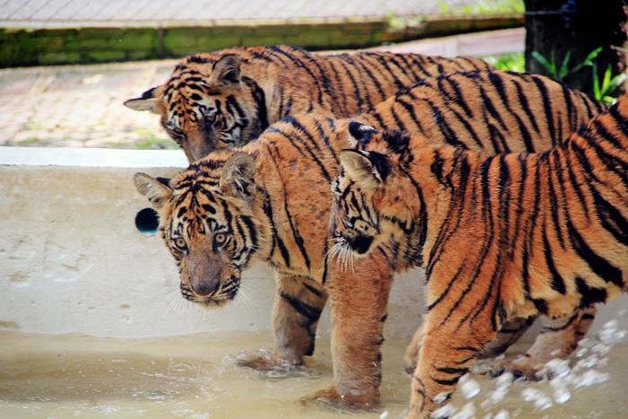 chiang_mai_tiger_kingdom27