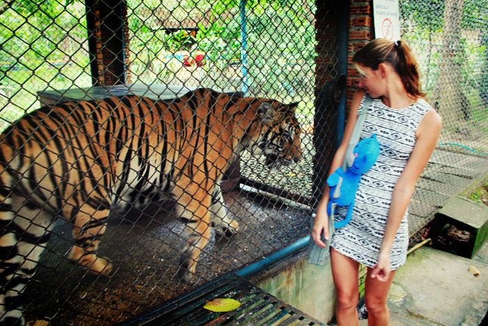 chiang_mai_tiger_kingdom37