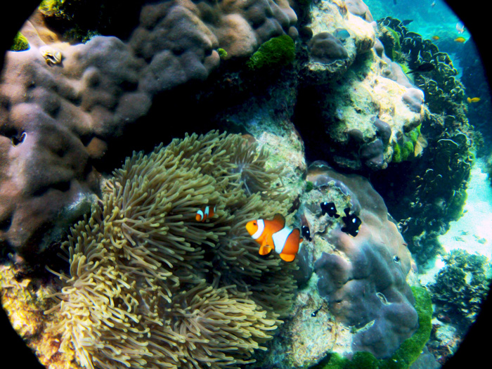 Clown fish or Nemo